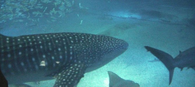 Osaka – transport și acvariul Kaiyukan cu al lui rechin balenă (10)