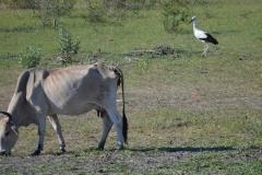 Okavango00272