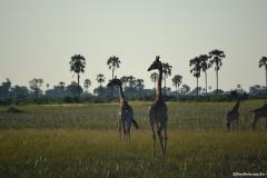 Okavango00933