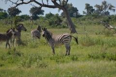 Okavango00372